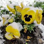 Snow Pansy 150