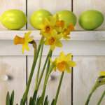 daffodils 150sq