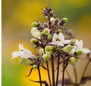 Horticulture-magazine-Beardtongue--300x285